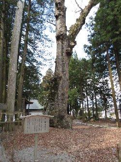 右が樹齢1000年の大欅(ケヤキ)左が御柱