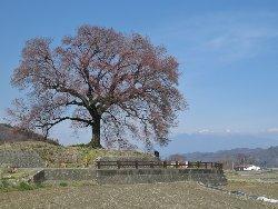 和仁塚の一本桜