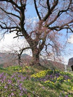 わに塚の桜と足下の花