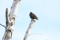 ホシムクドリ Common Starling
