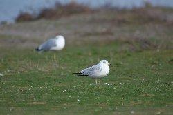 クロワカモメ Ring-billed Gull