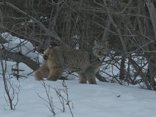 カナダオオヤマネコ(Lynx canadensis、英名:Canadian Lynx)