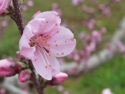 新府の桃の花