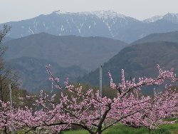 鳳凰三山をバックに桃の花