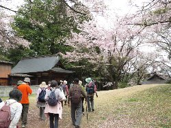 新府城址の桜