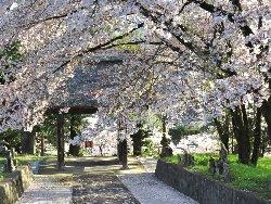 清泰寺 三門と桜