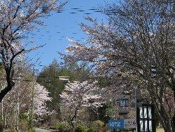 ペンション周りの桜