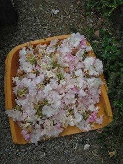 シャクナゲの花殻摘み