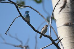 ムジルリツグミペア Mountain Bluebird pair