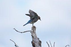 ムジルリツグミ Mountain Bluebird