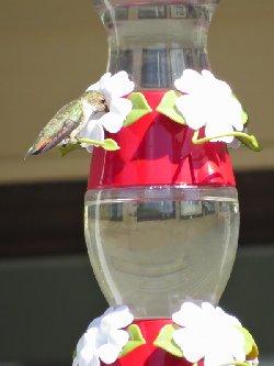 ヒメハチドリ♀