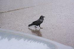 カラス Crow