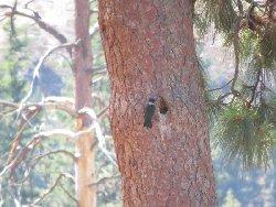 ルイスキツツキ Lewis's Woodpecker