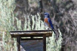 チャカタルリツグミ Western Bluebird