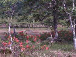 大阿原湿原のレンゲツツジ