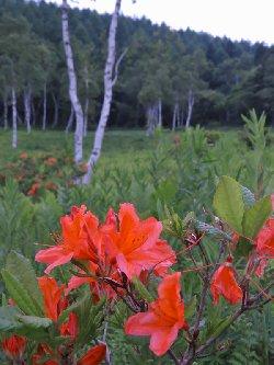 入笠湿原のレンゲツツジと白樺