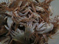 児島、錦江湾で捕れた深海に生きるカニ