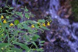 滝と黄花ツリフネソウ