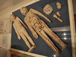 臓器を入れ替えると男女が変わる模型