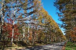 高原ロッジへの道のカラ松