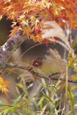 秋の雰囲気で撮れたジョウビタキ