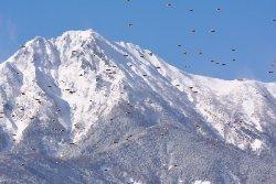 赤岳とハギマシコ