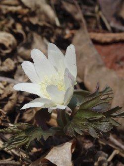 キクザキイチゲ(白花)