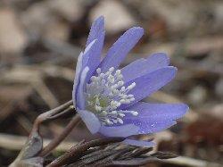 キクザキイチゲ(薄紫花)