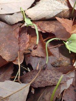 カタクリの1年目の細い芽
