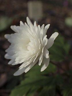 八重咲きキクザキイチゲ