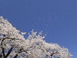 八ヶ岳ブルーに桜吹雪