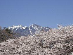 残雪の八ヶ岳をバックに桜並木
