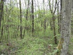 芽吹きの林