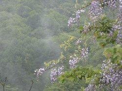 霧に煙る藤の花