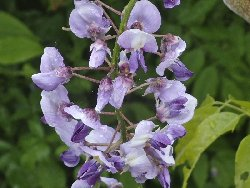 雨に濡れる藤の花