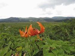 コオニユリと八島湿原