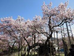 樹齢2000年の神代桜