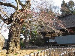 高森観音堂の桜
