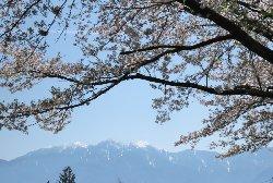 鳳凰三山と蕪の桜並木
