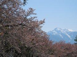 甲斐駒ヶ岳と蕪の桜並木