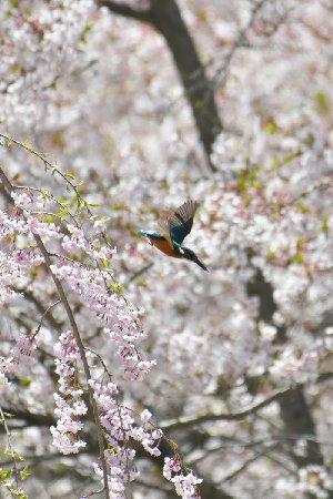 桜とカワセミ