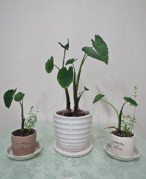 赤芽芋とニンジンの観葉植物