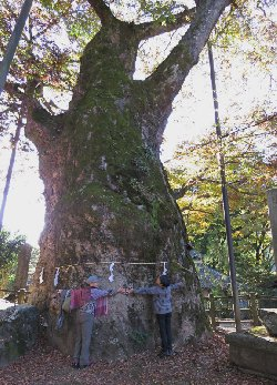 根古屋神社の大欅 目通り幹囲 10 m
