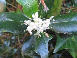 ヒイラギの白い花