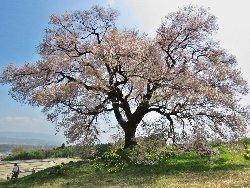 わに塚の一本桜