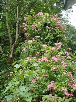 薔薇咲く小径