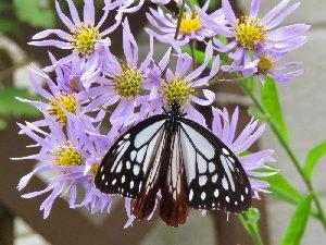 紫苑(シオン)とアサギマダラ