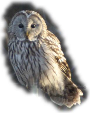 フクロウの画像 p1_6