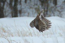 狩りするフクロウ