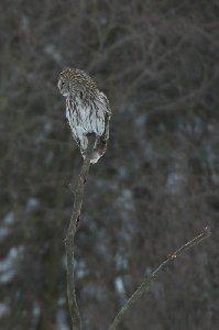 狩りをするフクロウ